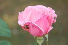 Αυξήθηκε και grasshopper Στοκ Φωτογραφία