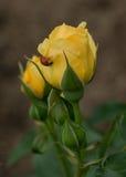 Αυξήθηκε και Ladybug στοκ εικόνες με δικαίωμα ελεύθερης χρήσης