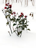 Αυξήθηκε καλυμμένος με το χιόνι Στοκ εικόνες με δικαίωμα ελεύθερης χρήσης
