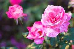 Αυξήθηκε κορίτσι λουλουδιών Στοκ φωτογραφία με δικαίωμα ελεύθερης χρήσης