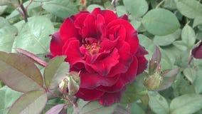 Αυξήθηκε κόκκινο λουλουδιών απόθεμα βίντεο
