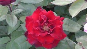 Αυξήθηκε κόκκινο λουλουδιών φιλμ μικρού μήκους