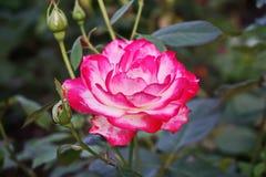 Αυξήθηκε, κόκκινο ρόδινο, φυσικό φως χρώματος στην πλήρη άνθιση στοκ εικόνες με δικαίωμα ελεύθερης χρήσης
