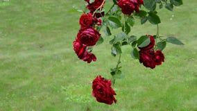 Αυξήθηκε κλάδος λουλουδιών με τις μεγάλες κόκκινες ανθίσεις αυξάνεται στο θερινό κήπο απόθεμα βίντεο