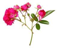 Αυξήθηκε κλαδίσκος λουλουδιών που απομονώθηκε Στοκ φωτογραφία με δικαίωμα ελεύθερης χρήσης