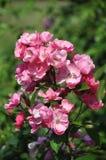 Αυξήθηκε, λουλούδια Στοκ Εικόνες