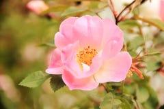 Αυξήθηκε λουλούδι άνθισε στον κήπο στοκ φωτογραφίες με δικαίωμα ελεύθερης χρήσης