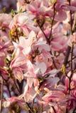 Αυξήθηκε λουλούδι δέντρων που ανθίζει την άνοιξη στοκ εικόνες