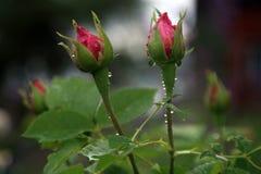 Αυξήθηκε λουλούδι κατά τη διάρκεια της βροχής Στοκ Εικόνα