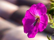 Αυξήθηκε λουλούδι με τη μέλισσα που παίρνει το νέκταρ στοκ φωτογραφία με δικαίωμα ελεύθερης χρήσης