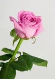Αυξήθηκε λουλούδι με τις απελευθερώσεις δροσιάς. Στοκ Εικόνες