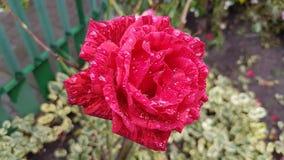 Αυξήθηκε λουλούδι με τις σταγόνες βροχής Στοκ Εικόνες