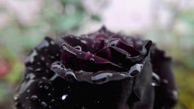 Αυξήθηκε λουλούδι με τις σταγόνες βροχής Στοκ φωτογραφίες με δικαίωμα ελεύθερης χρήσης