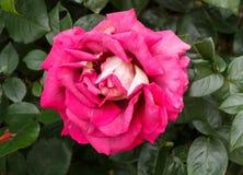 Αυξήθηκε λουλούδι σε έναν κήπο Στοκ Εικόνες