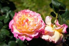 Αυξήθηκε λουλούδι σε έναν κήπο Στοκ εικόνα με δικαίωμα ελεύθερης χρήσης