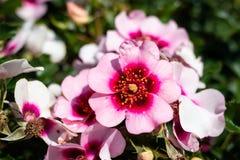 Αυξήθηκε λουλούδι σε έναν κήπο Στοκ Φωτογραφία