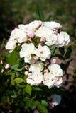 Αυξήθηκε λουλούδι σε έναν κήπο Στοκ εικόνες με δικαίωμα ελεύθερης χρήσης