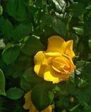 Αυξήθηκε λουλούδι στον κήπο, φυσικό στοκ εικόνες