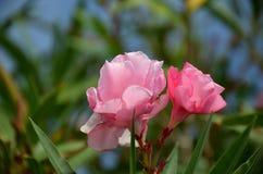 Αυξήθηκε λουλούδι του oleander στη θερινή άνθιση Στοκ φωτογραφίες με δικαίωμα ελεύθερης χρήσης