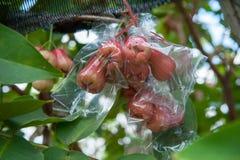 Αυξήθηκε μήλα Στοκ Φωτογραφίες