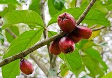 Αυξήθηκε μήλο στο δέντρο του Στοκ Φωτογραφίες