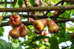 Αυξήθηκε μήλα στο δέντρο Στοκ Φωτογραφίες