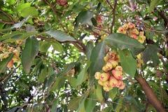 Αυξήθηκε μήλα Στοκ φωτογραφίες με δικαίωμα ελεύθερης χρήσης