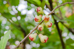 Αυξήθηκε μήλα Στοκ εικόνες με δικαίωμα ελεύθερης χρήσης
