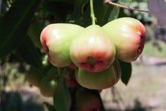 Αυξήθηκε μήλο στο δέντρο 2 Στοκ Εικόνα