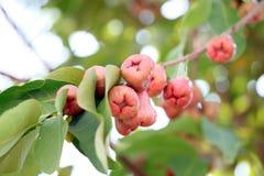 Αυξήθηκε μήλο στο δέντρο. Στοκ εικόνα με δικαίωμα ελεύθερης χρήσης