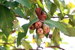 Αυξήθηκε μήλο στο δέντρο. Στοκ Φωτογραφία