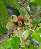 Αυξήθηκε μήλο Στοκ φωτογραφία με δικαίωμα ελεύθερης χρήσης
