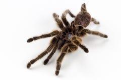 Αυξήθηκε μαλλιαρή αράχνη tarantula molt Στοκ Εικόνες