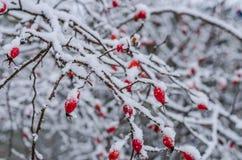 Αυξήθηκε, μούρο, φρέσκος, παγωμένος, υγιές, παγετός, φυσικός Στοκ εικόνες με δικαίωμα ελεύθερης χρήσης