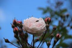 Αυξήθηκε οίκτος τύπων στην κινηματογράφηση σε πρώτο πλάνο στο δημόσιο rosarium Boskoop στις Κάτω Χώρες με τη μύγα στοκ φωτογραφίες