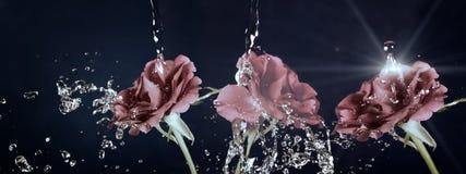 Αυξήθηκε λουλούδι στη βροχή, πτώσεις του νερού που λάμπει, εκλεκτής ποιότητας, αναδρομική επίδραση στοκ φωτογραφία με δικαίωμα ελεύθερης χρήσης