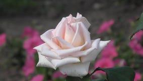 Αυξήθηκε λουλούδι στο θερινό κήπο απόθεμα βίντεο
