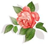 Αυξήθηκε, λουλούδι, σχέδιο, ζωγραφική Στοκ Εικόνες
