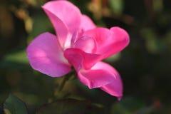 Αυξήθηκε λουλούδι υπαίθρια στοκ εικόνες