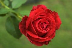 Αυξήθηκε λουλούδι Στοκ Εικόνες