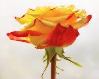Αυξήθηκε λουλούδι Στοκ Φωτογραφίες