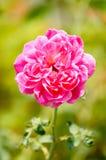 Αυξήθηκε λουλούδι στοκ εικόνα