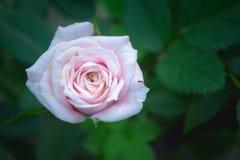 Αυξήθηκε λουλούδι Στοκ εικόνα με δικαίωμα ελεύθερης χρήσης
