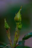 Αυξήθηκε οφθαλμοί με τα aphids Στοκ φωτογραφία με δικαίωμα ελεύθερης χρήσης