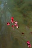 Αυξήθηκε πέταλα και τέφρες στο σκοτεινό νερό Στοκ Φωτογραφίες