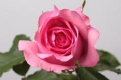 Αυξήθηκε ροζ στο υπόβαθρο Στοκ Εικόνες