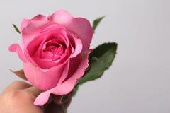 Αυξήθηκε ροζ στο υπόβαθρο Στοκ Φωτογραφίες