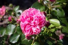 Αυξήθηκε ροζ Στοκ Εικόνα