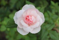Αυξήθηκε ροζ Στοκ εικόνα με δικαίωμα ελεύθερης χρήσης