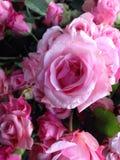 Αυξήθηκε ροζ Στοκ εικόνες με δικαίωμα ελεύθερης χρήσης